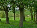 NDY-D2 - NDY-PD5 - Apple trees - Normandy - France
